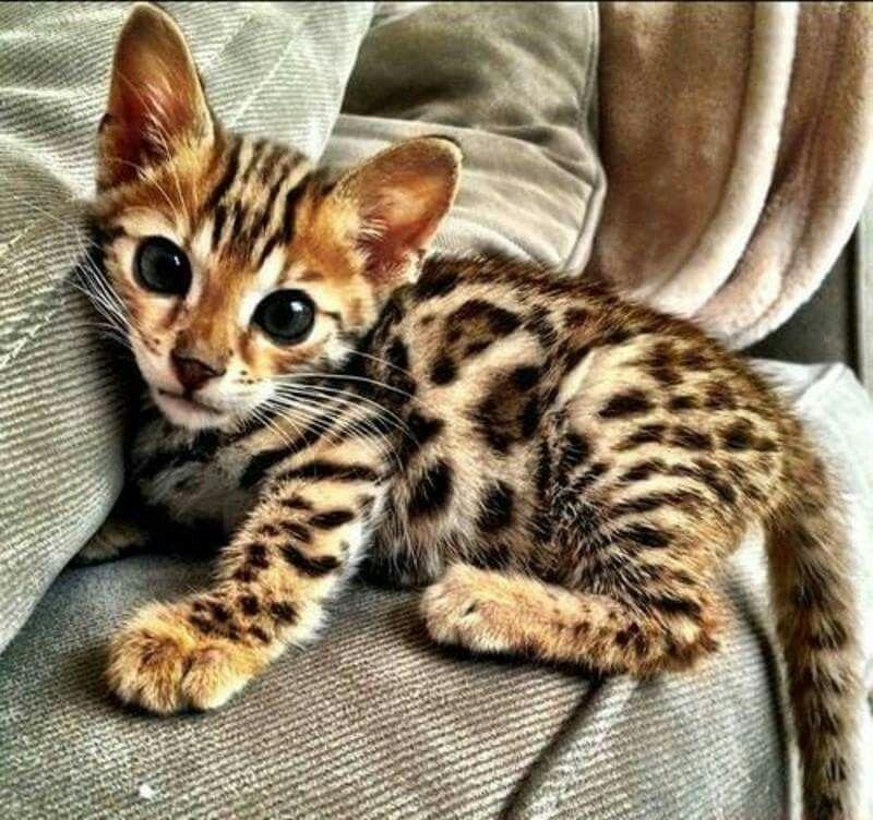 A Baby Bengal Kitten Looks Like A Leopard Kitten Kittens Cutest