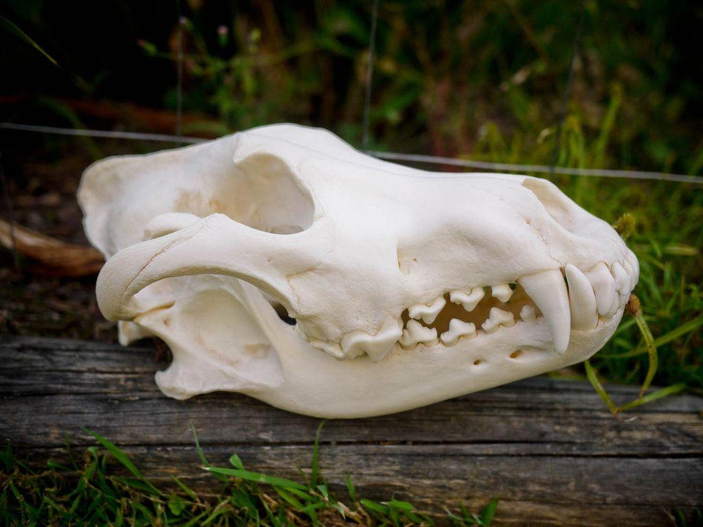Huge Male Wolf Skull by cravingotters on DeviantArt   Alaska ...