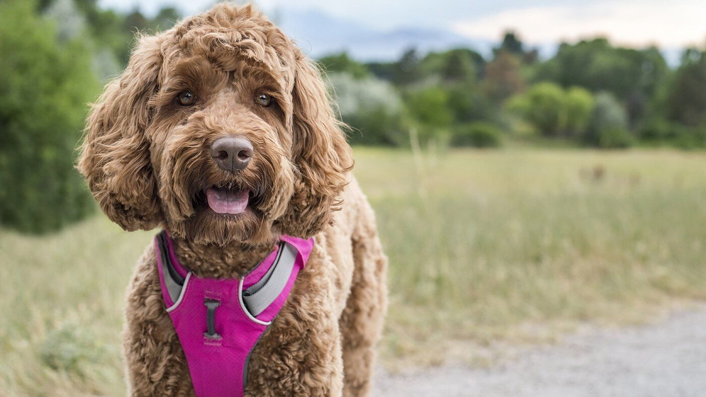 Finding The Perfect Harness For Your Dog Dogs Dog Harness Dog Life