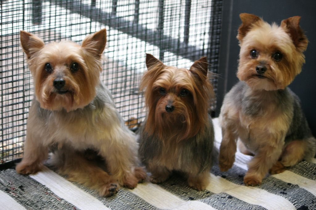 Three Different Hairstyles For Yorkies Yorkshireterrier