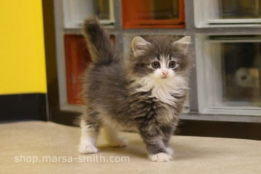Grey And White Norwegian Forest Cat Kitten Norwegian Forest Cat Norwegian Forest Kittens Siberian Forest Cat