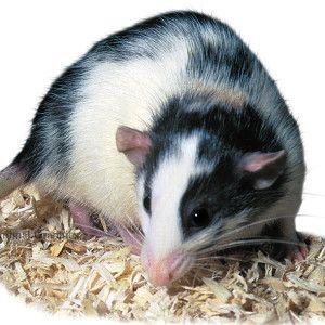Female Dumbo Rat Live Small Pets Petsmart Small Pets Pets