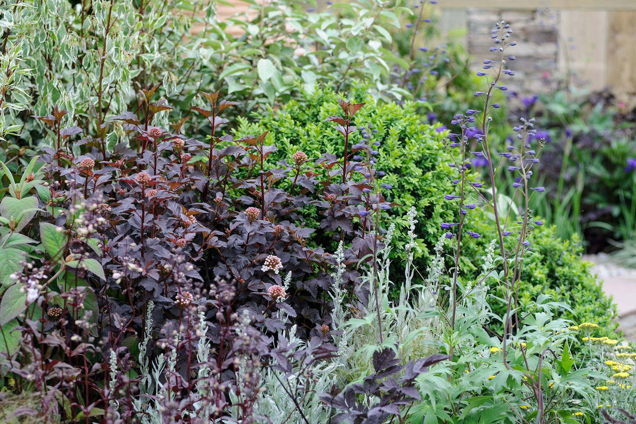 Purple leaf shrub with pink flowers - A Gorgeous Deciduous Shrub Growing 5 9 Ft Tall And Wide The Striking