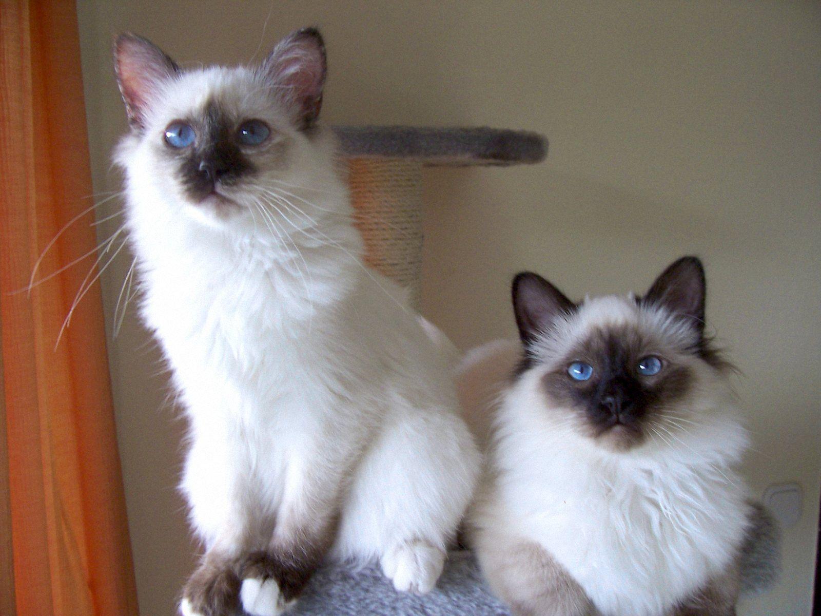 TWO BIRMAN CATS WALLPAPERS Birman cat