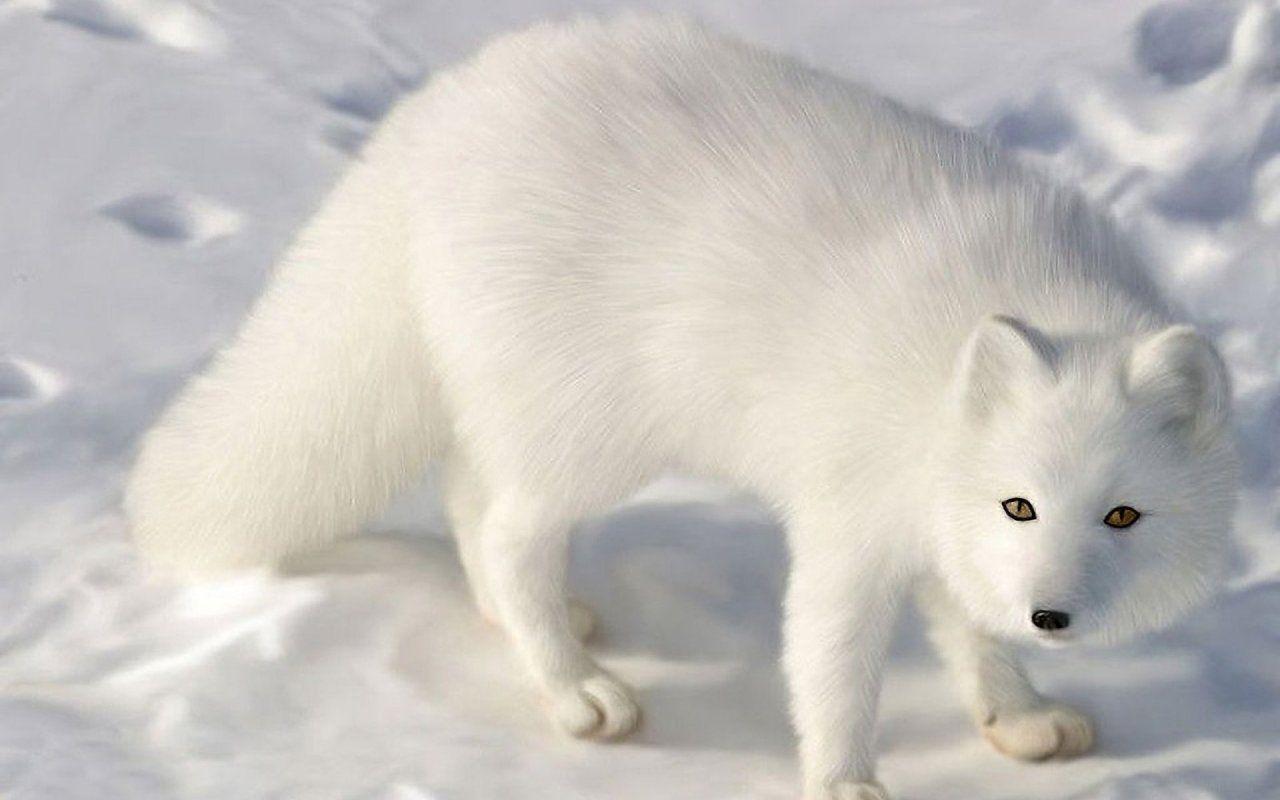 Best Hd White Fox 1280x800 Hd 83804 Www Walldc Com