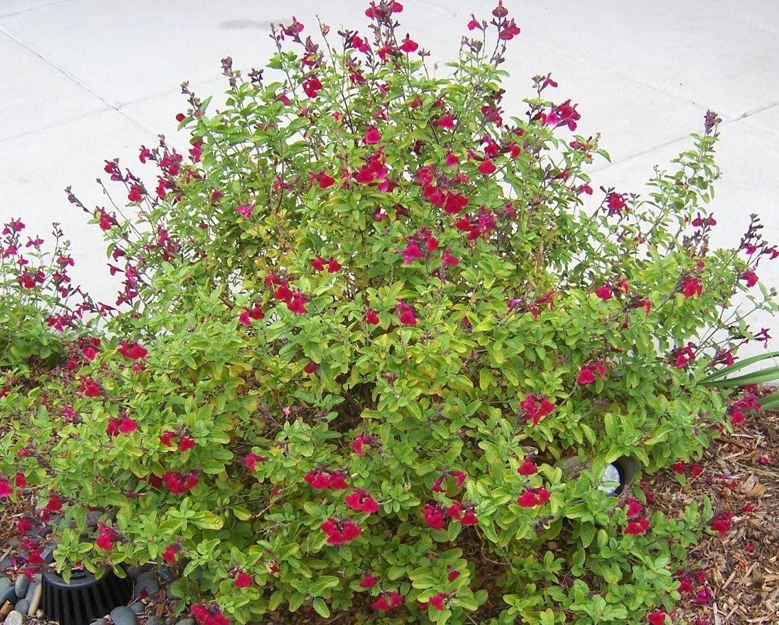 Autumn Sage/ Salvia greggii. Evergreen and drought ...