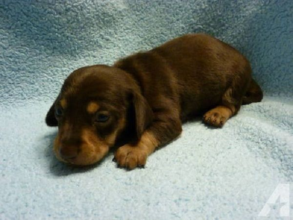 Dachshund Puppies For Sale In Kentucky Zoe Fans Blog Dachshund