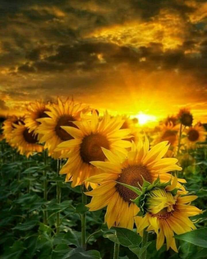 Sunflower In 2020 Sunflower Sunset Nature Photography Sunflower Art