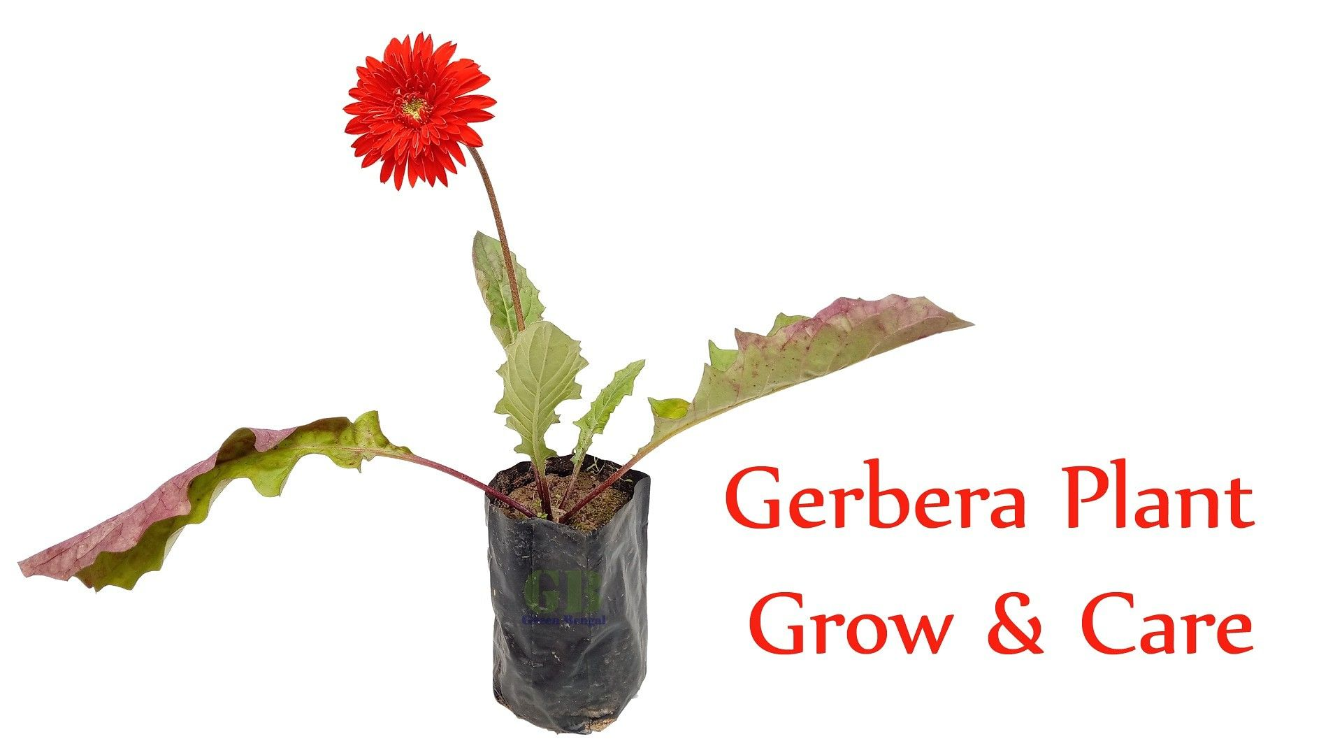 Gerbera Plant Grow And Care Tips Gerbera Gerberas Gerberadaisy Gerberadaisies Flowers Flowers Flower Daily Flower Specia Gerbera Plant Plants Low Maintenance Plants