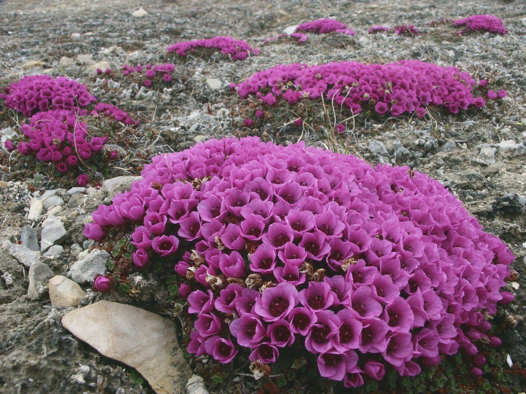 Ian Kellett Purple Saxifrage Rock flowers, Beautiful
