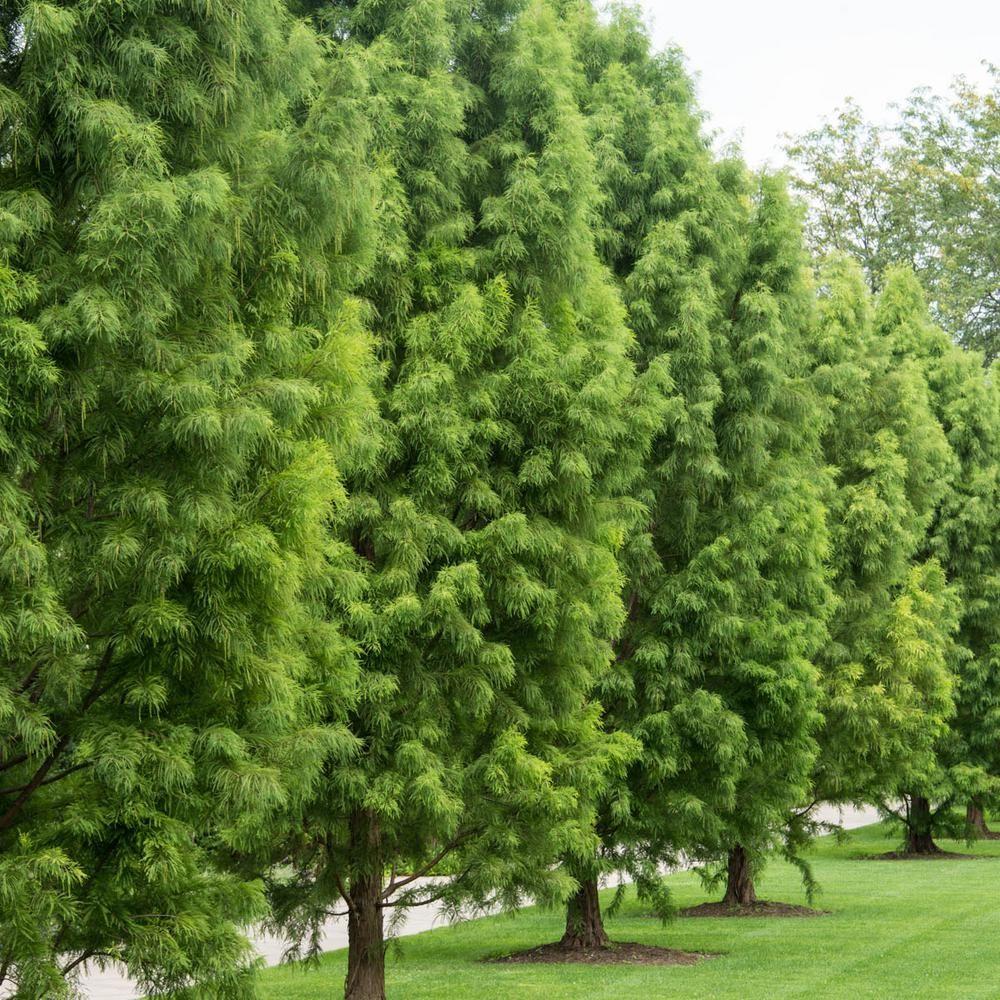Spring Hill Nurseries Green Foliage Dawn Redwood