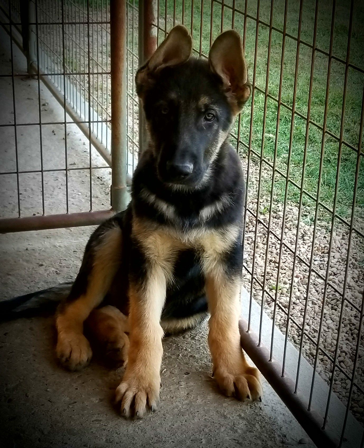 11 week old, Male, AKC German Shepherd puppy, available at