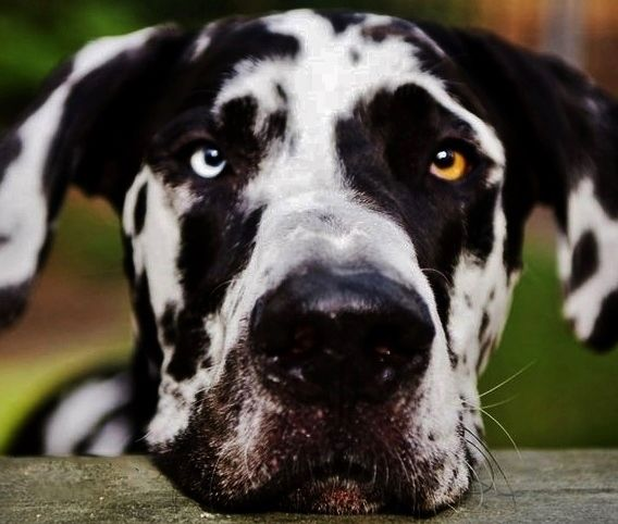 Pin By Katherine Smith On Great Danes Dane Dog Dogs Dane Puppies