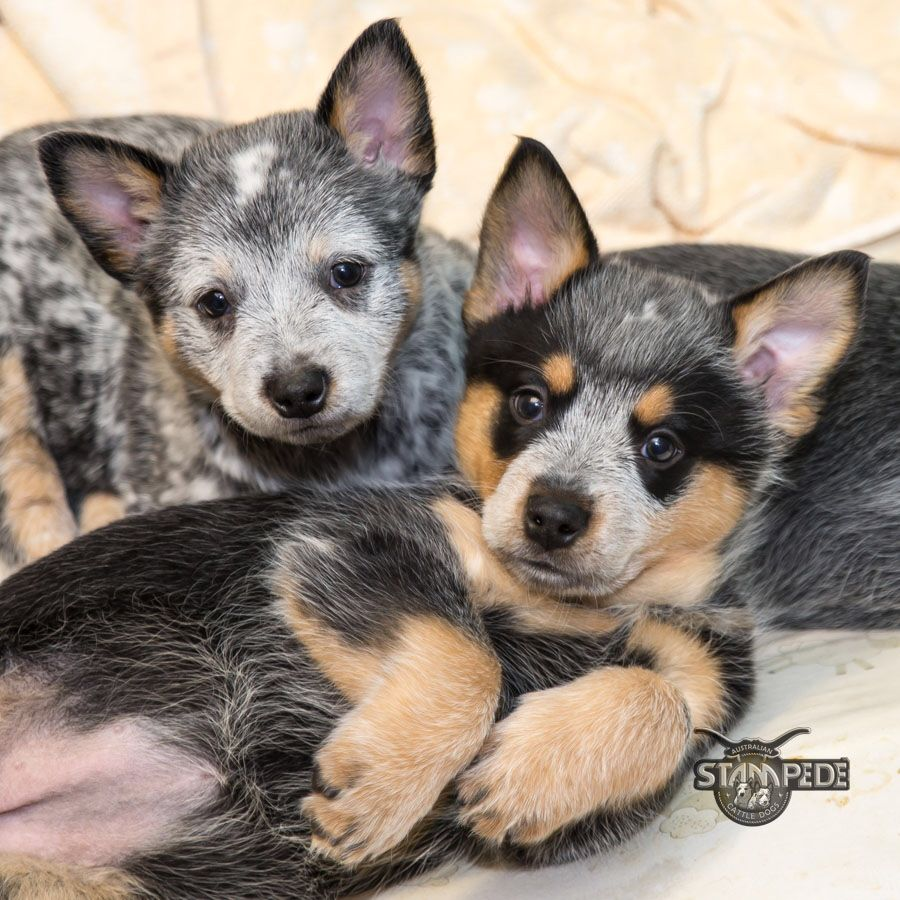 australian cattle dog blue heeler puppy dogs acd. Black Bedroom Furniture Sets. Home Design Ideas