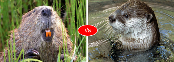 Muskrat Vs Otter Animal Lover Otters Animals Amazing