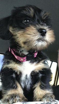The Cutest Dorkie Ever Telly Dachshund Mixed With Yorkie Cute