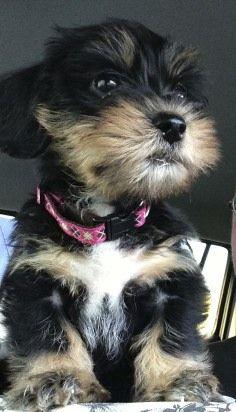 Pin By Candi Mc On A Home W O A Dog Is Just A House Cute Animals Baby Puppies Yorkie