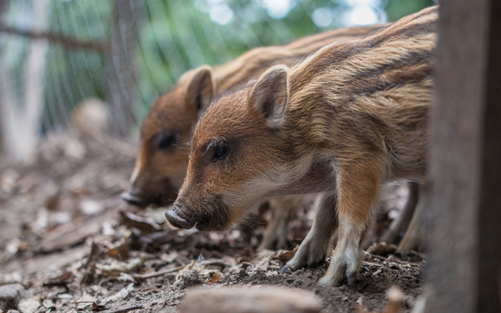 Download wallpapers wild small boars, pets, cute animals