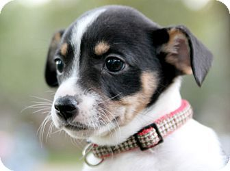 Austin Tx Chihuahua Beagle Mix Meet Jane Kanagaroo A Puppy For