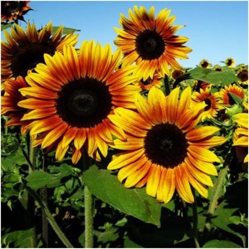 Sonnenblume (Helianthus) - Duft richtung Honig gehend
