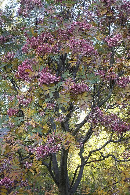 Sorbus Hupehensis Pink Pagoda Berries Autumn Leaves Changing To Yellow Ornamental Trees Blooming Trees Specimen Trees