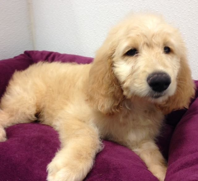 Dogs And Puppies For Sale Petland Novi Michigan Puppy Store Puppy Store Lab Puppies Puppies