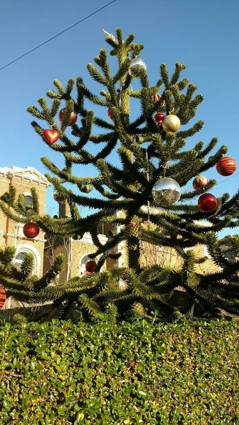 Monkey Puzzle Tree Decorated For Christmas 2016 Leinster Road Dublin Ireland Tree Decorations Christmas Decorations Monkey Puzzle Tree