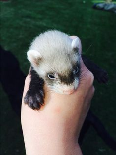 9 Baby Ferrets For Sale Diss Norfolk Pets4homes Baby Ferrets Ferret Cute Ferrets
