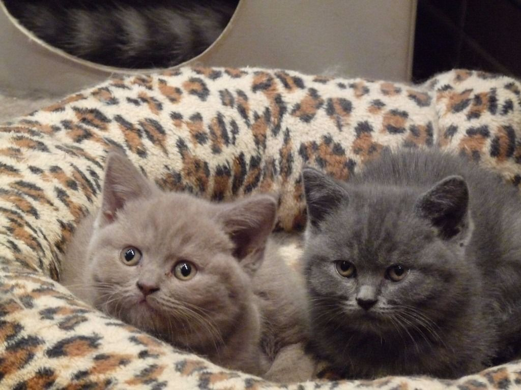 Beautiful British Short Hair Kittens Available Lovely And Affectionate British Sho With Images British Shorthair British Shorthair Kittens British Shorthair Cats