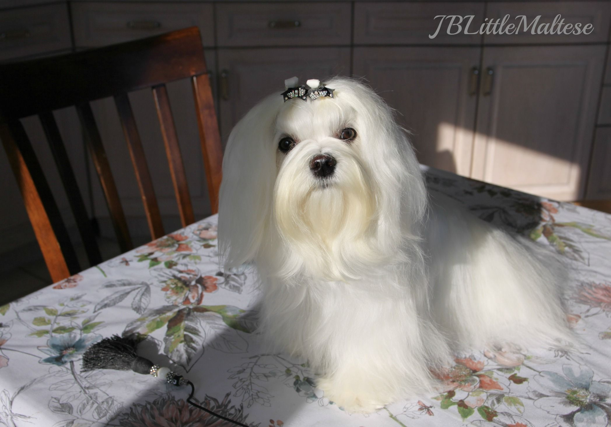 Female Maltese Maltese Puppy Toy Dog Breeds Maltese