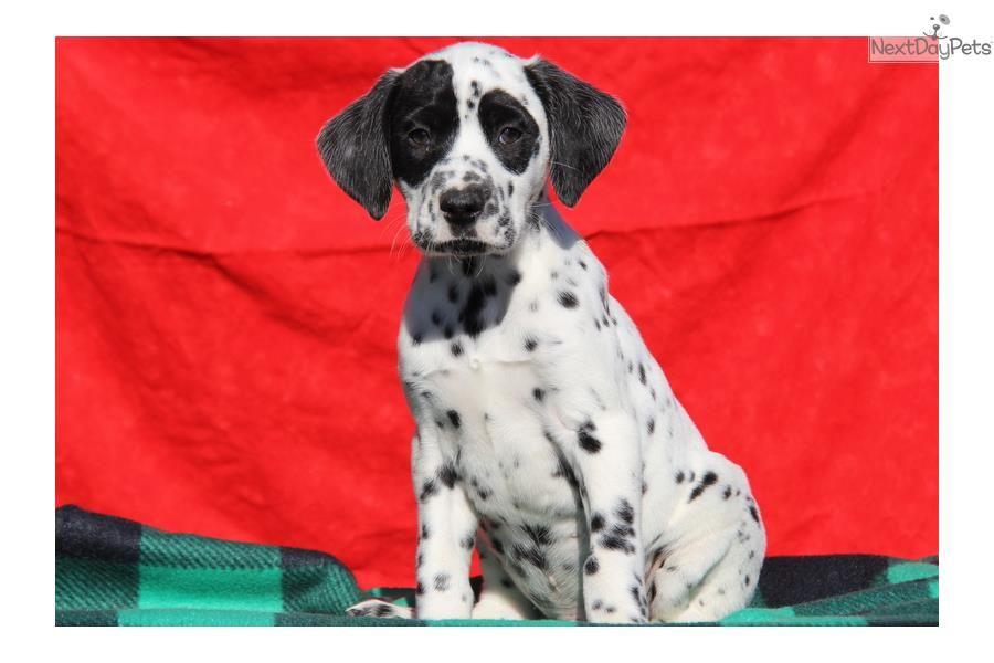 Sarge / Dalmatian Dalmatian puppy for sale near