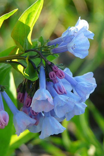 Virginia Bluebells Mertensia virginica Prairie Nursery