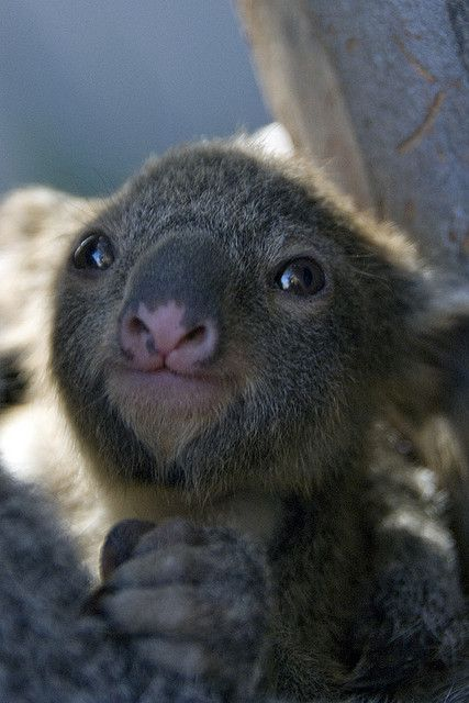 SQUEEE!!! This baby Koala is just too cute... I think he looks like a little alien.