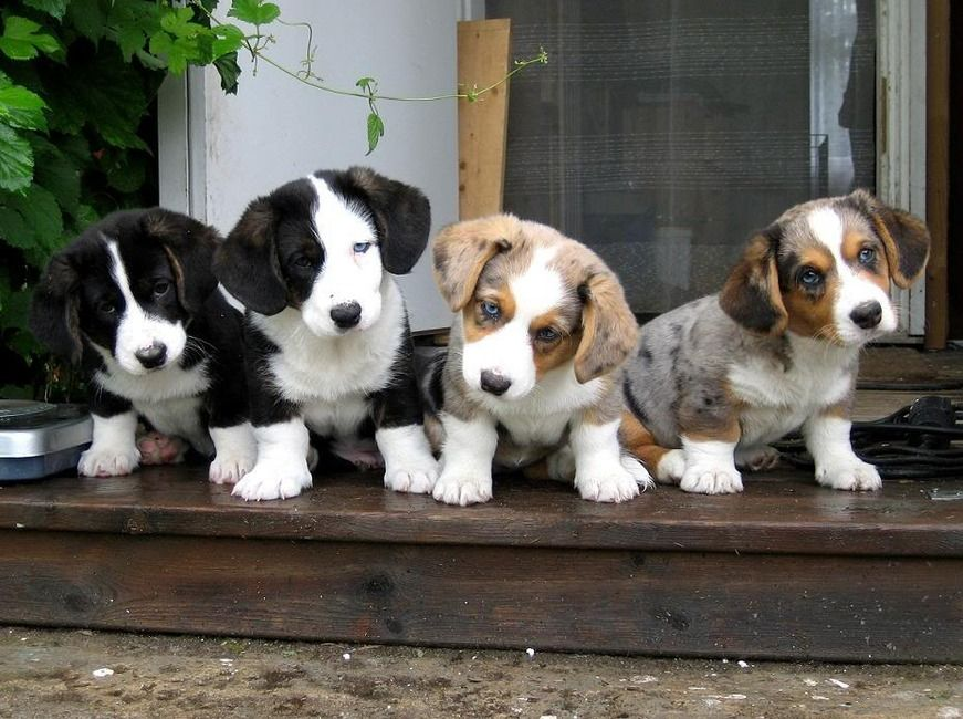 Cardigan Welsh Puppies Pictures Animals