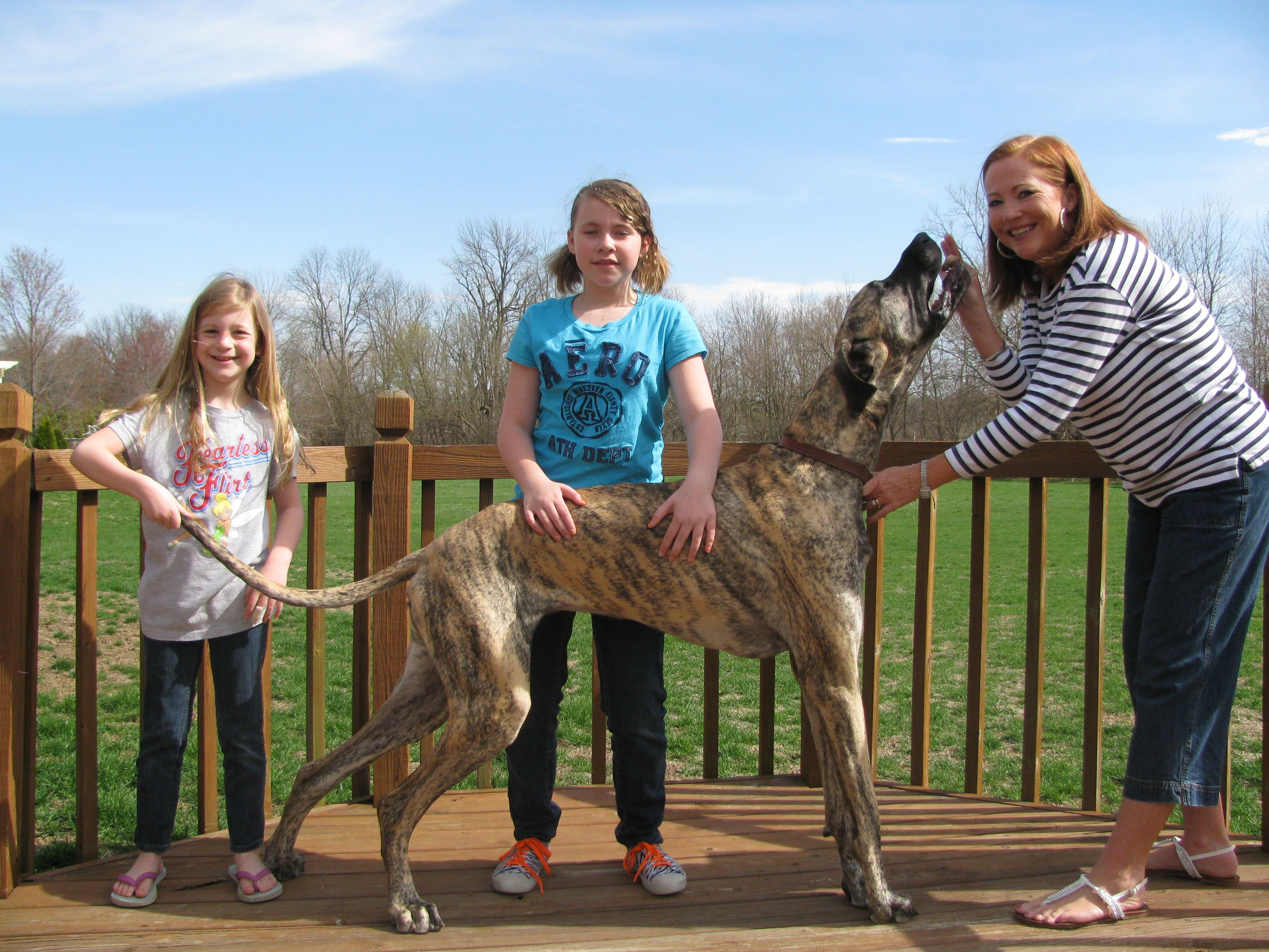 Allie The Great Dane Guinness Book World Record Holder For