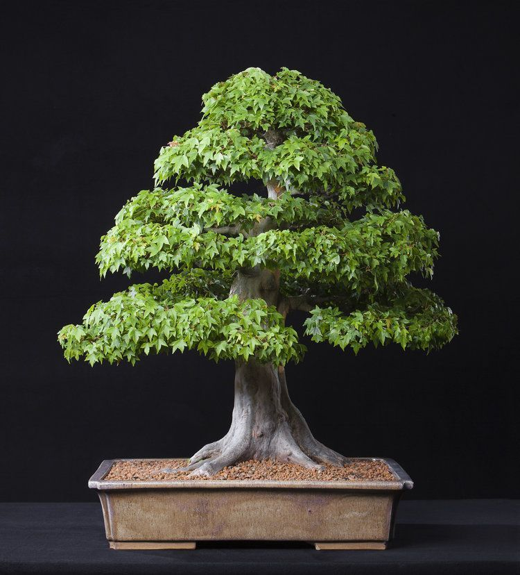 North American Collection National Bonsai Foundation American Bonsai Bonsai Tree Collection Foundat In 2020 Indoor Bonsai Tree Maple Bonsai Japanese Bonsai Tree