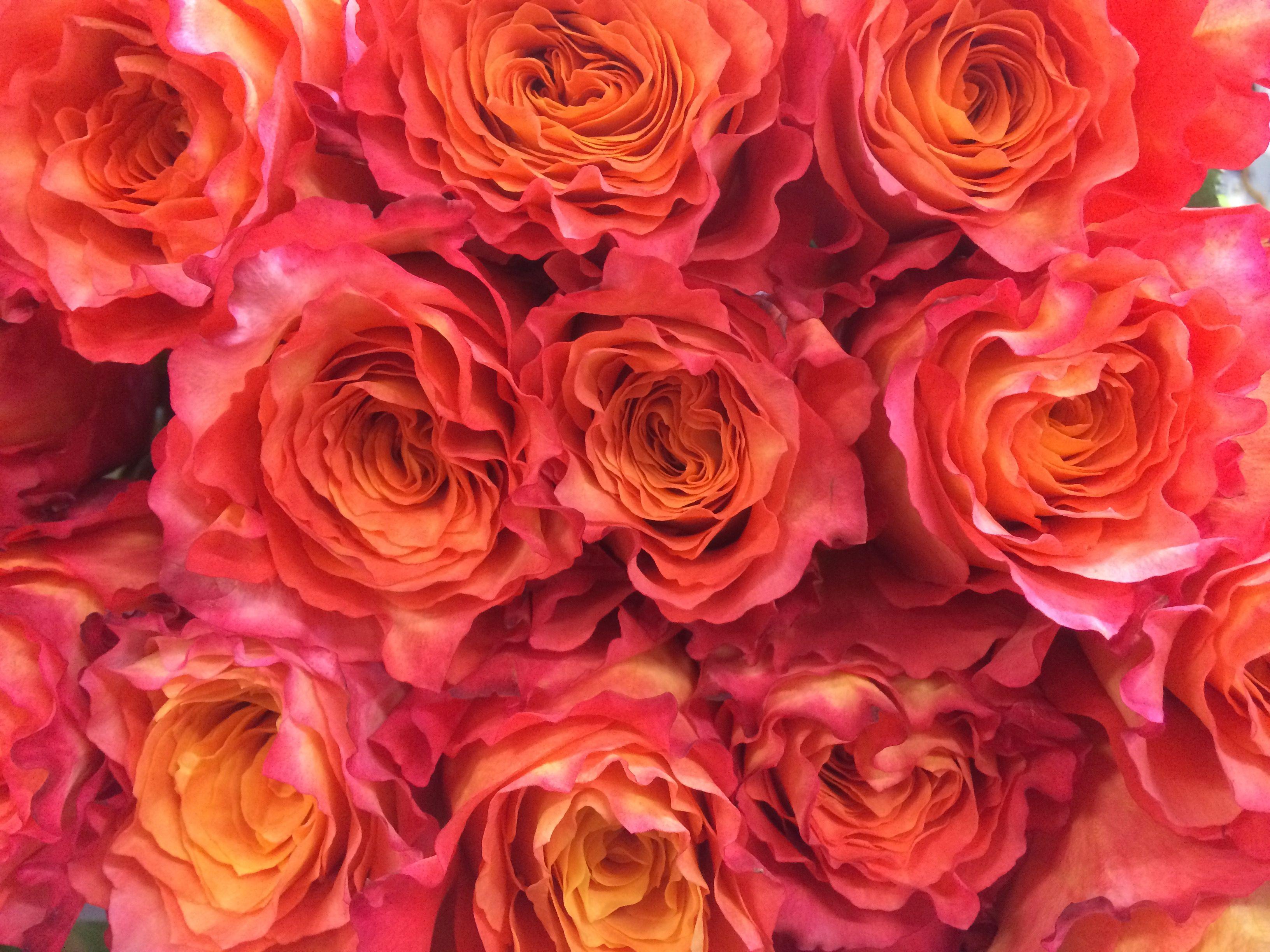 Free Spirit Flowers, Rose, Plants