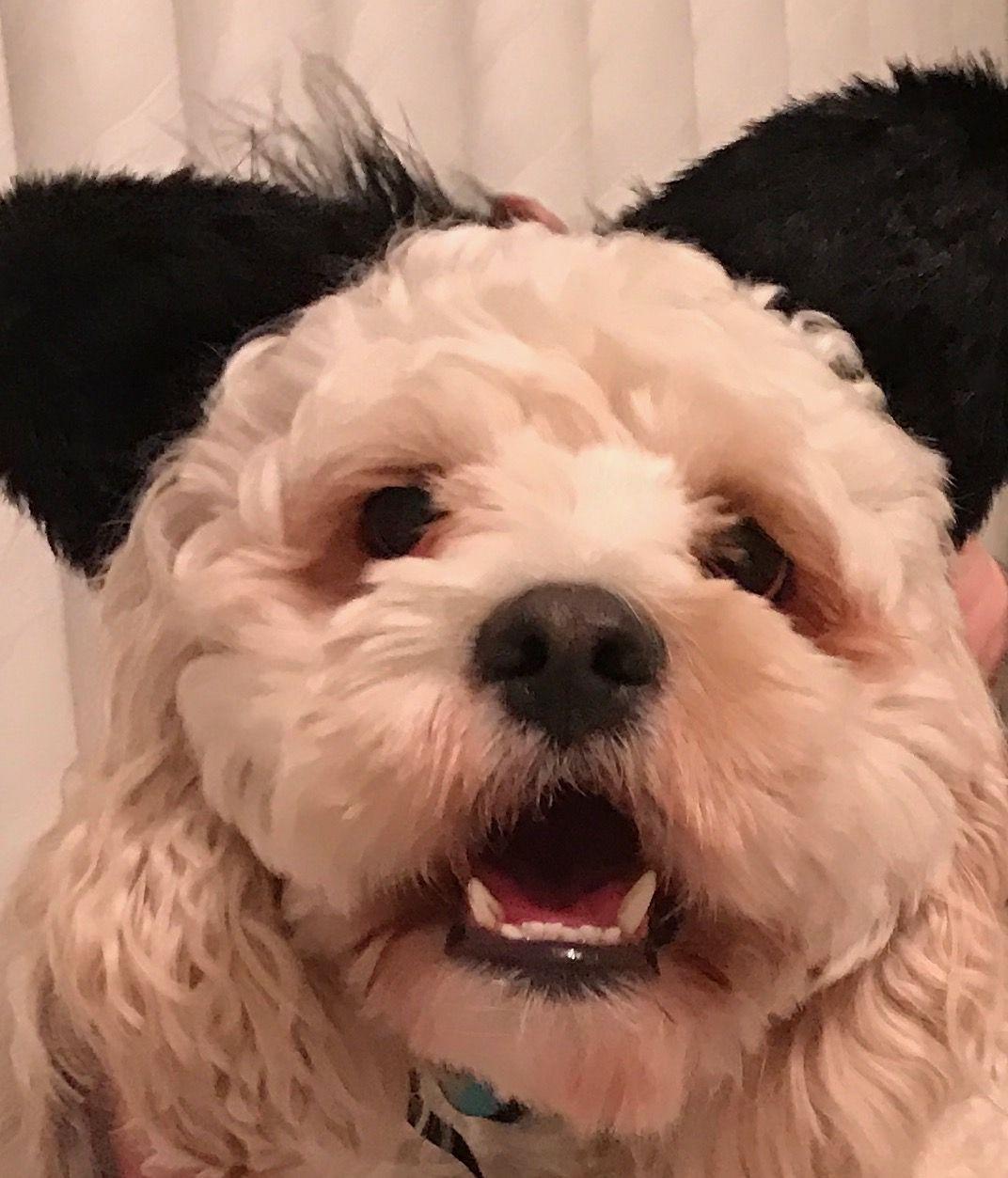 Funny Halloween ears on my cockapoo!