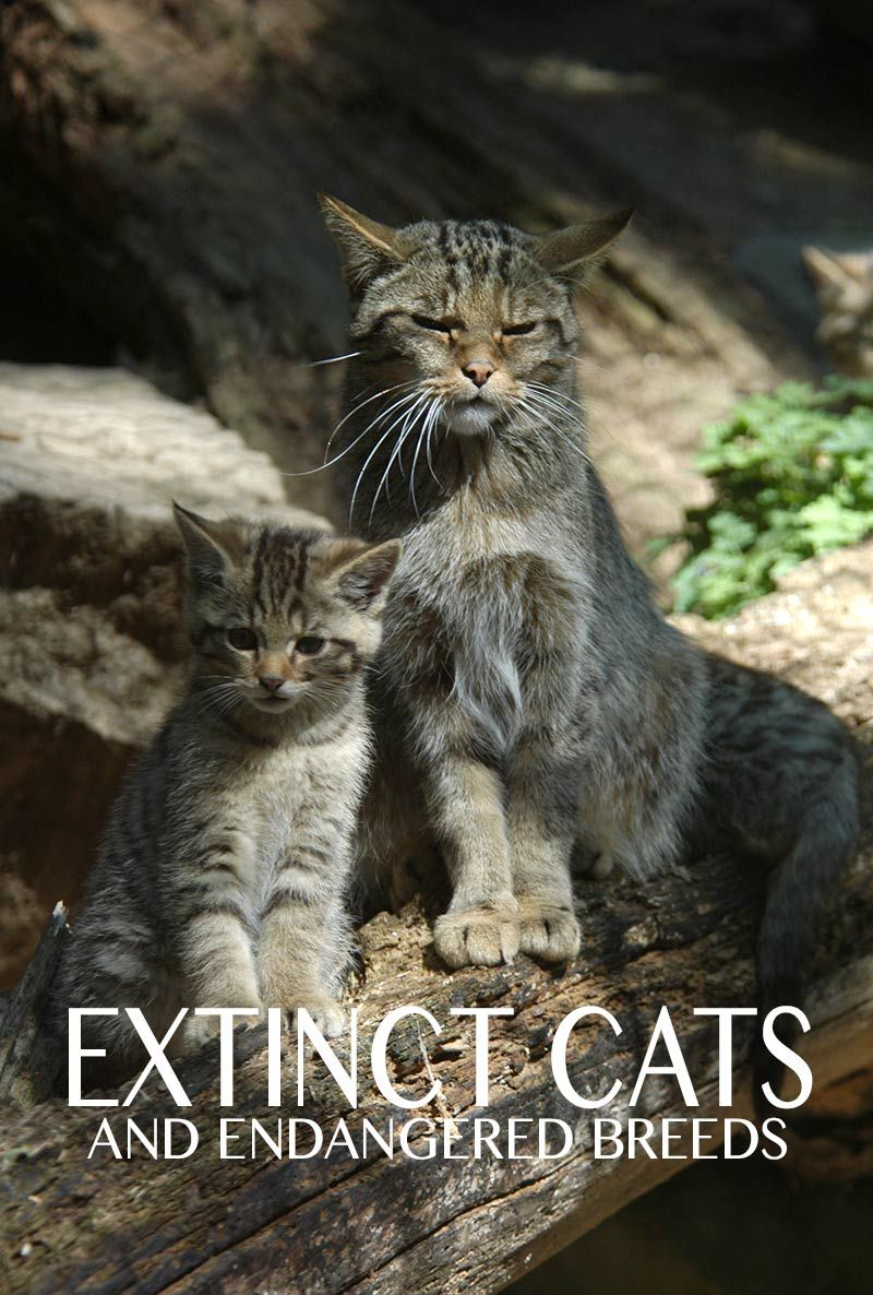 Extinct Cats A Guide To The Cats That History Left Behind Cat Site Cat Breeds Tabby Cat