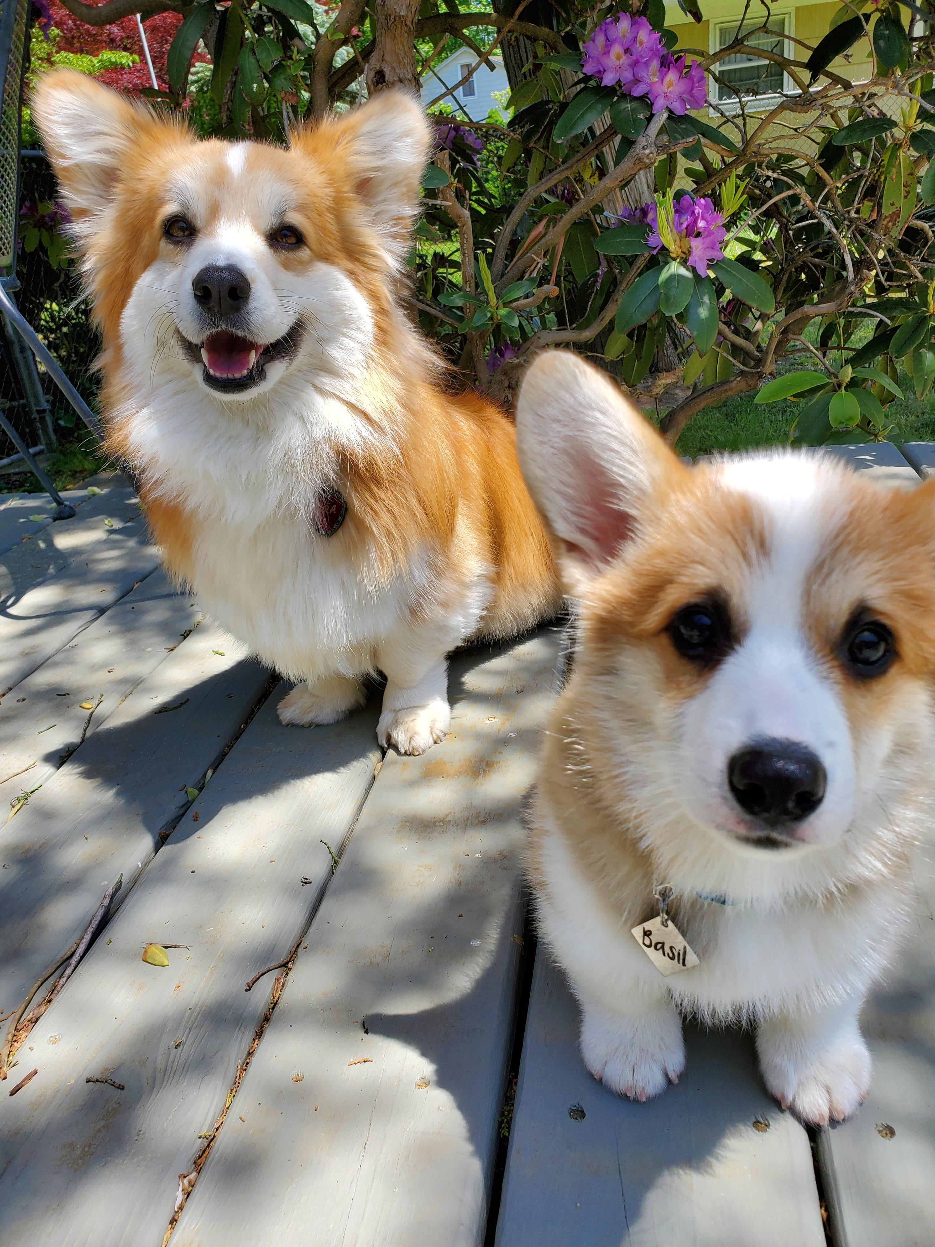 Prepare For Trouble And Make It Double Https Ift Tt 3dzlaza In 2020 Corgi Dog Corgi Dachshund Pets