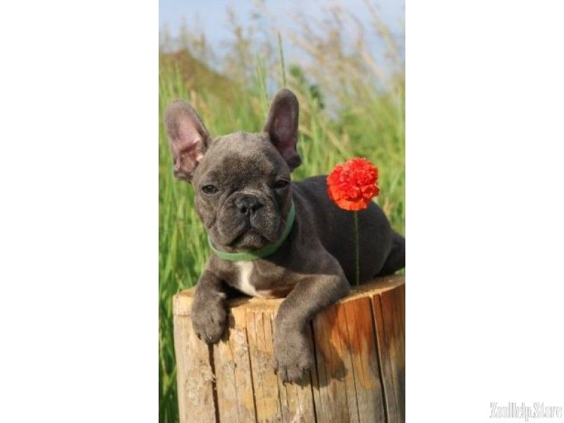French Bulldog Puppies For Sale In New York French Bulldog