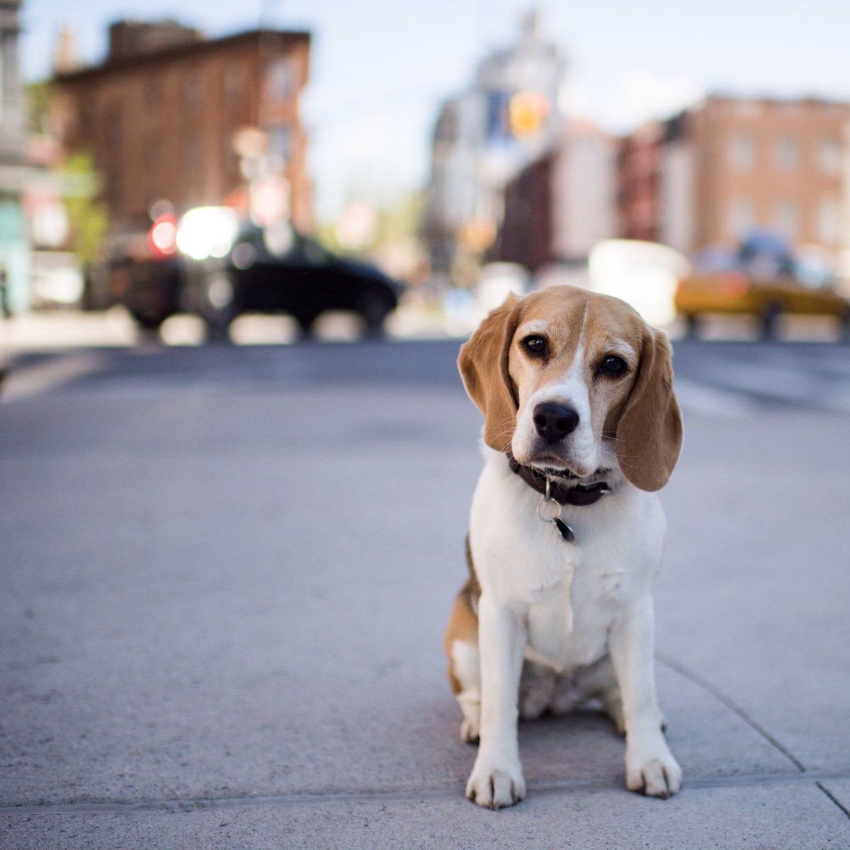 Bailey Beagle 3 Y O Greenwich 7th Ave New York Ny Her Mom