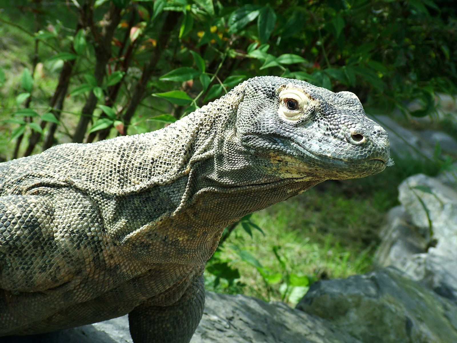 Komodo Dragon Komodo, Pulau, Bahasa inggris