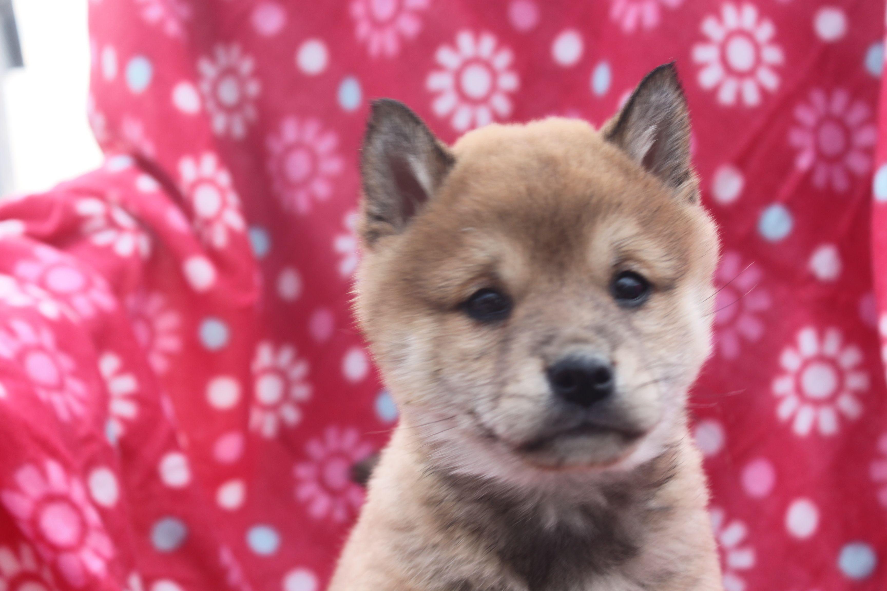 Pin by on ShibaInu Puppies For Sale Shiba