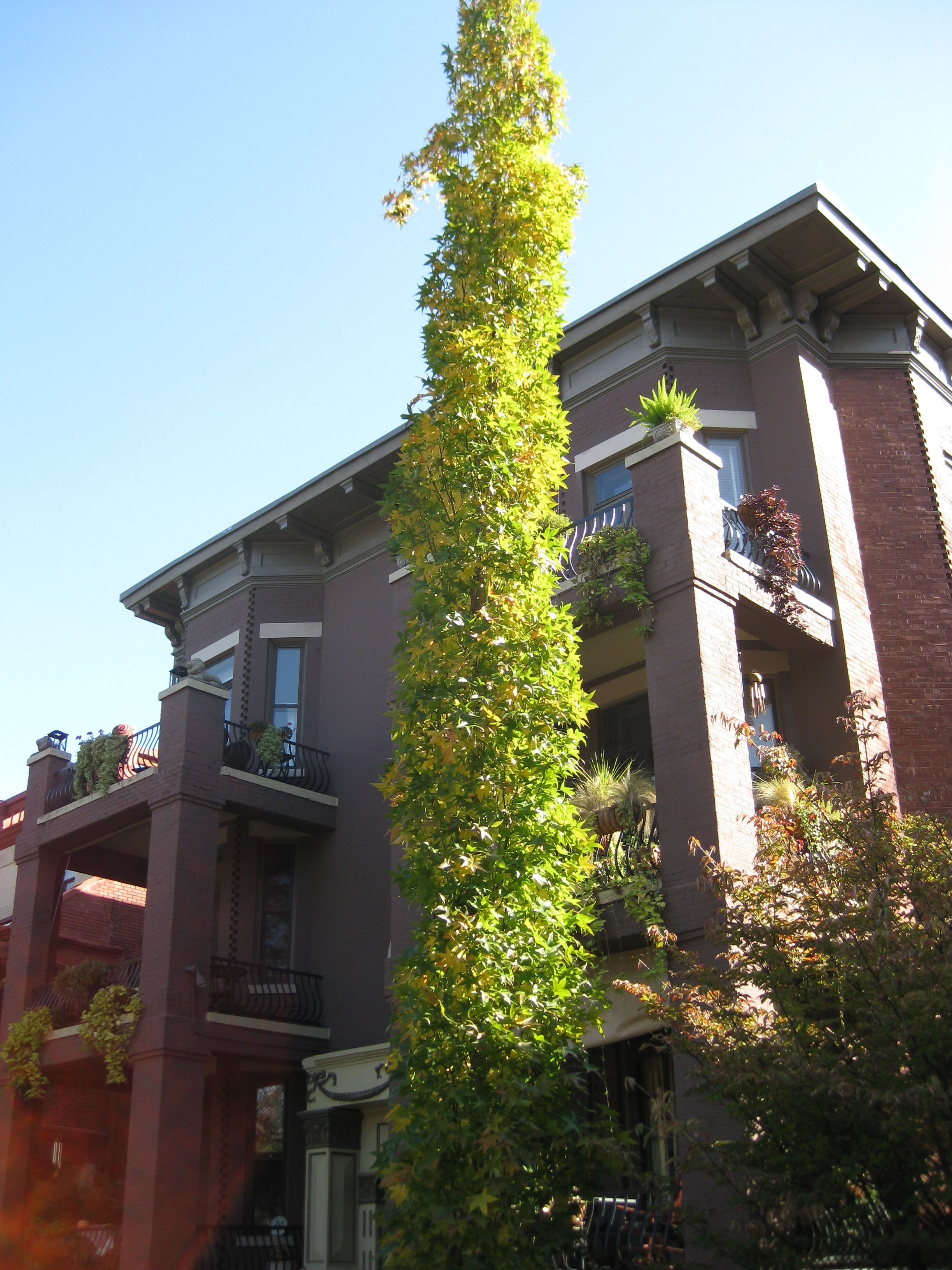 Slender Silhouette Sweetgum Turns A Combination Of Oranges And