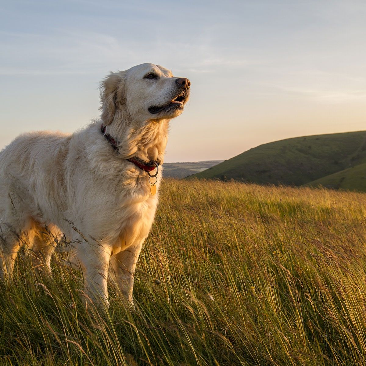 National Golden Retriever Day February 3 2020 Dogs Dog