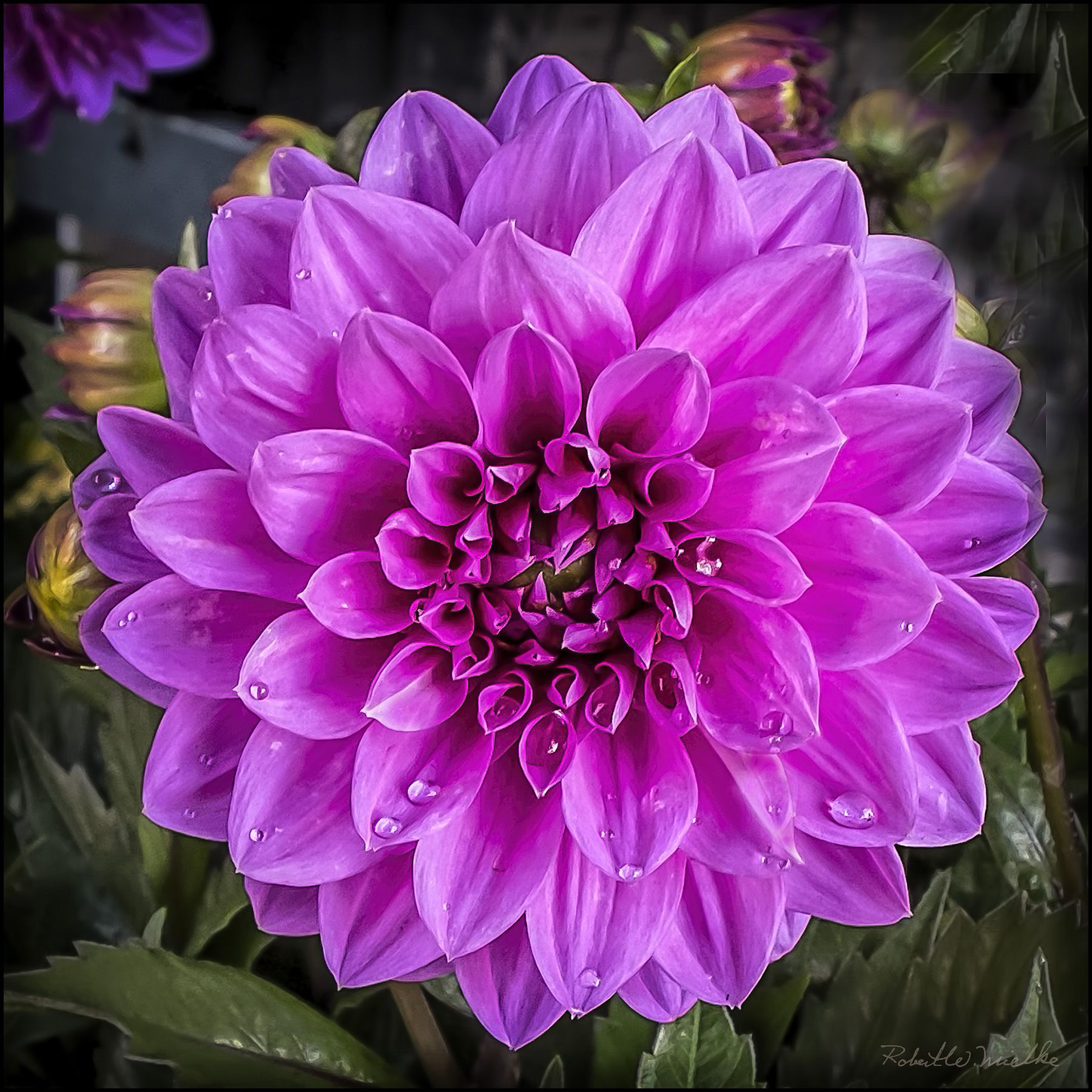 Dahlia Blooms Google Search Flower Pictures For Colour Palettes