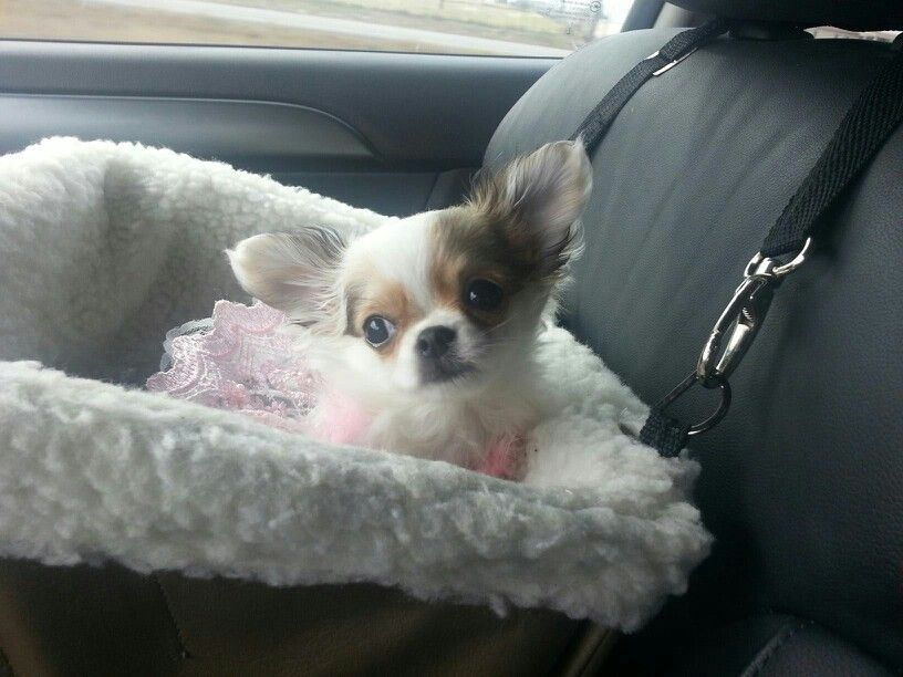 Sweet Chihuahua In Her Car Seat