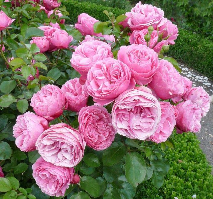 rose leonardo da vinci rose gardens and garten. Black Bedroom Furniture Sets. Home Design Ideas