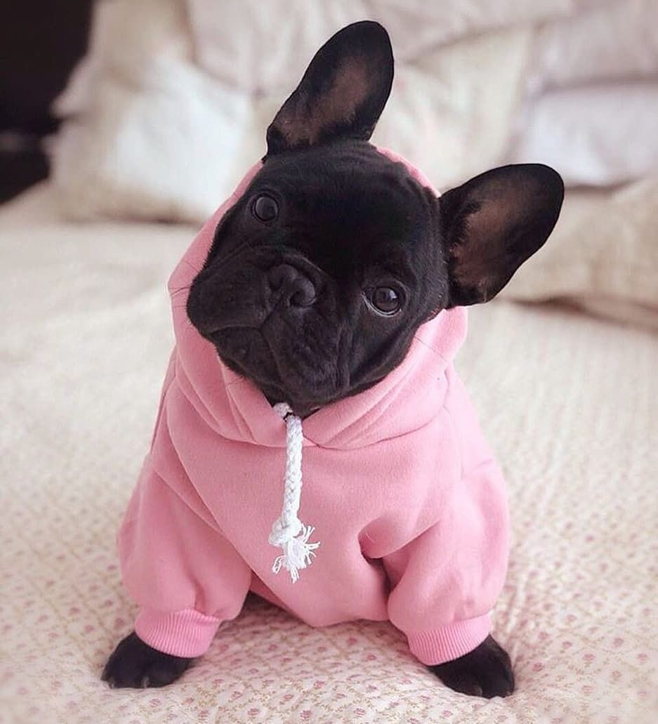 French Bulldog On Instagram Do I Look Cute In My Frenchie World Basic Dog Hoodie In Pink Daniel French Bulldog Puppies Bulldog Puppies Cute Animals